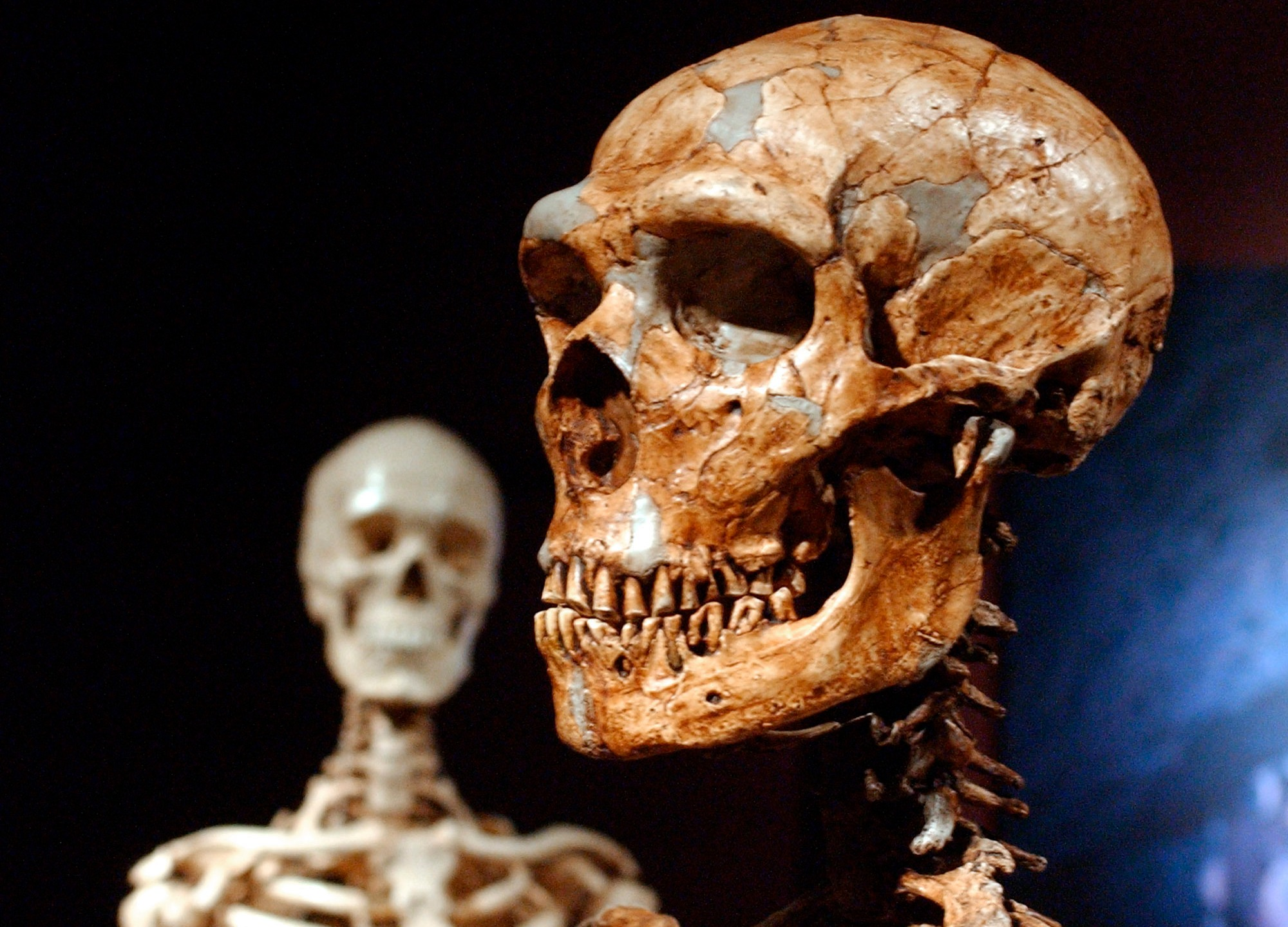 This Wednesday, Jan. 8, 2003 file photo shows a reconstructed Neanderthal skeleton, right, and a modern human skeleton on display at the Museum of Natural History in New York.