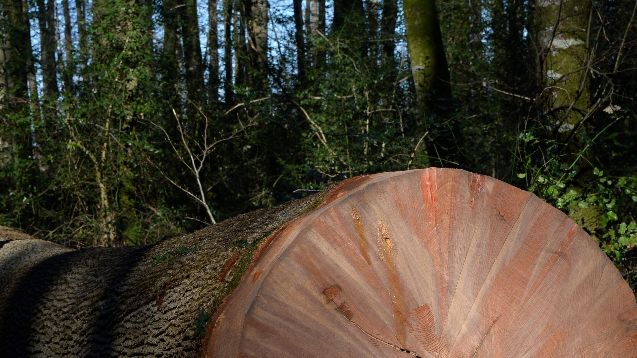 Tree DNA helps convict Washington timber thief following fire