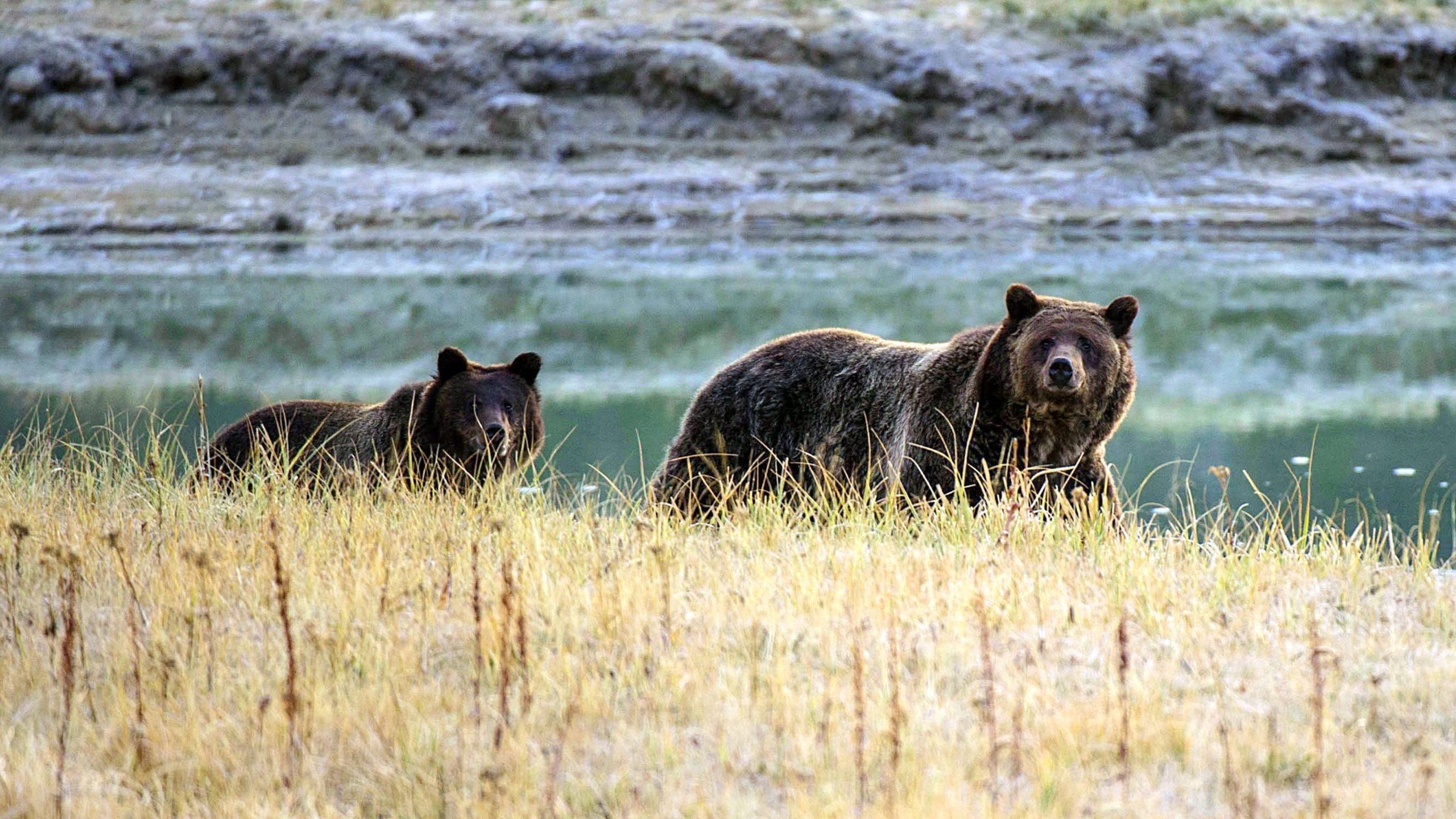 Grizzly bear kills camper in Montana